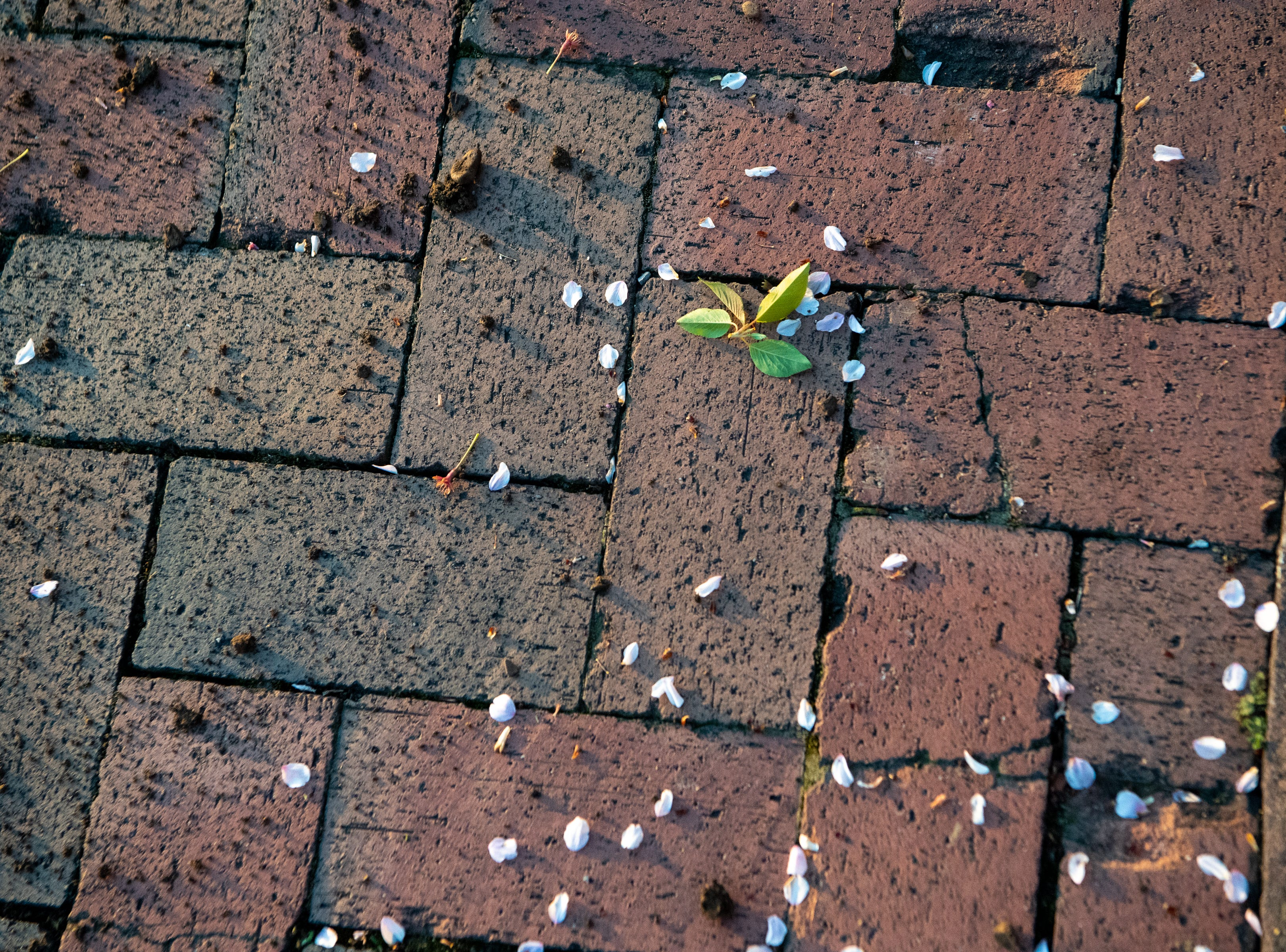 Petals and leaves lay on the ground after a Yoshino Cherry tree was relocated along the riverfront Wednesday, April 3, 2019, in Nashville, Tenn. The City is transplanting the trees after protest of chopping the trees down to make room for a giant stage for the upcoming NFL Draft.