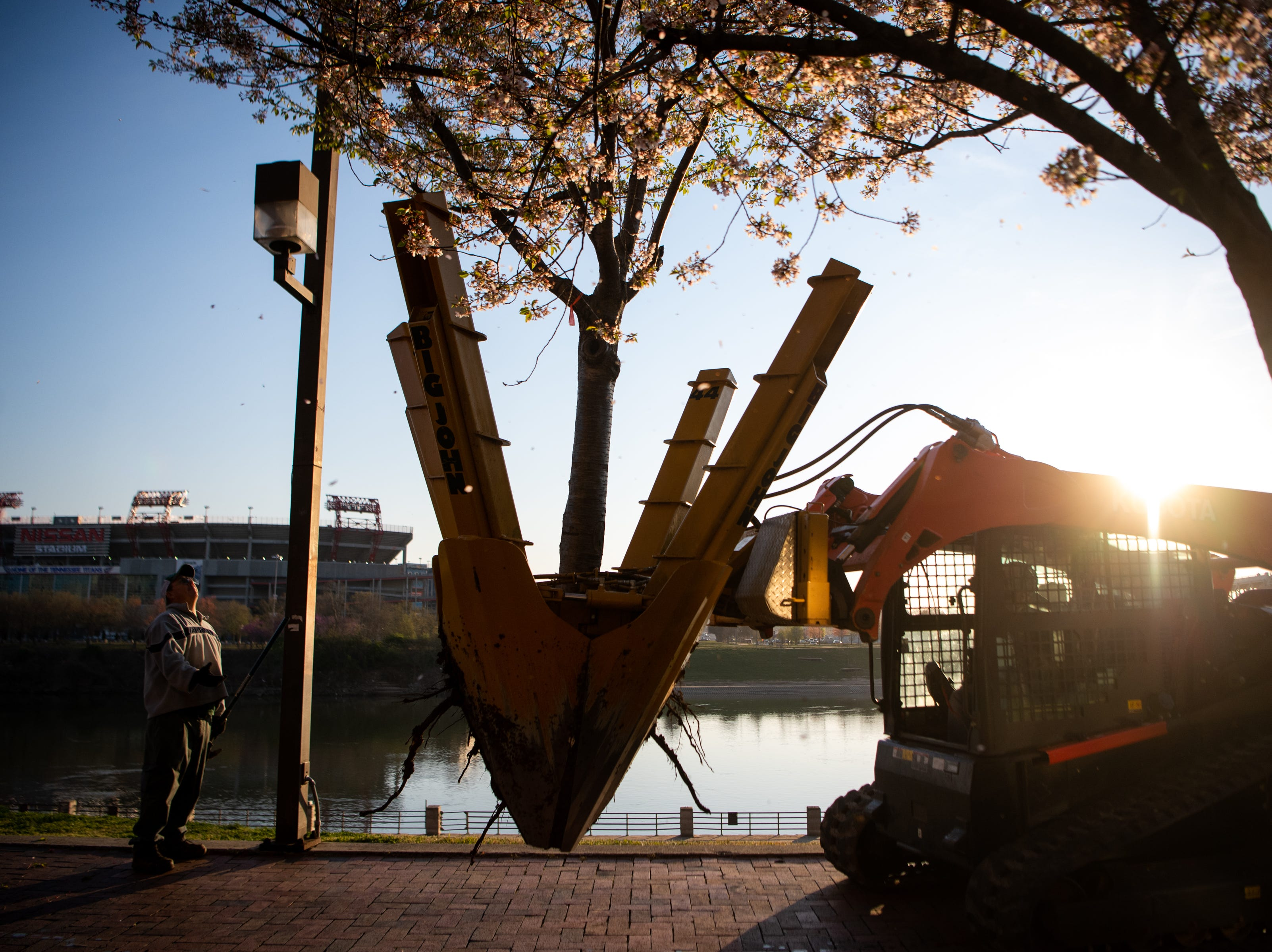 Roots stick out from a Yoshino Cherry tree while being relocated along the riverfront Wednesday, April 3, 2019, in Nashville, Tenn. The City is transplanting the trees after protest of chopping the trees down to make room for a giant stage for the upcoming NFL Draft.
