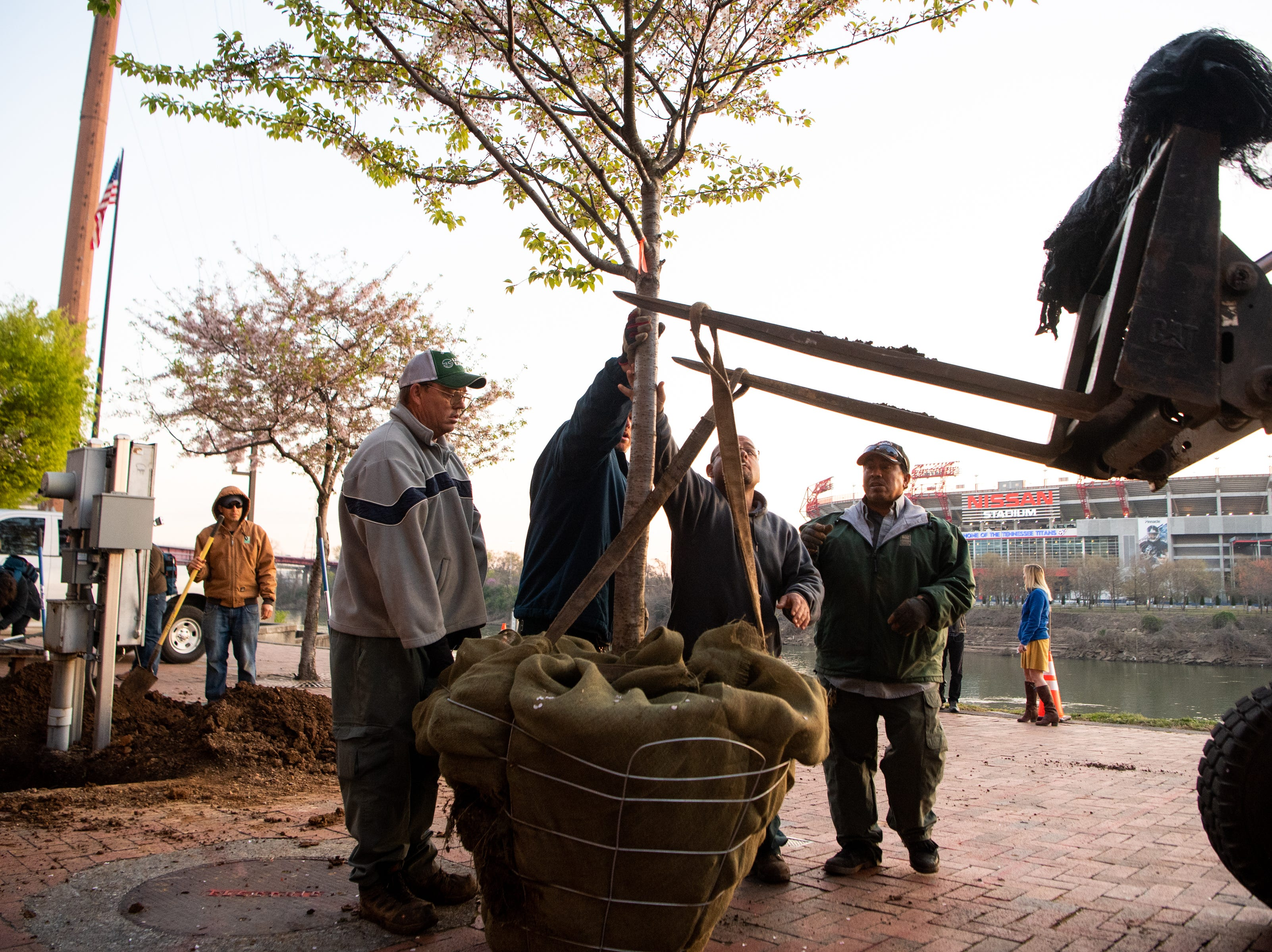Metro Parks and Recreation workers work to lift a Yoshino Cherry tree along the riverfront Wednesday, April 3, 2019, in Nashville, Tenn. The City is transplanting the trees after protest of chopping the trees down to make room for a giant stage for the upcoming NFL Draft.