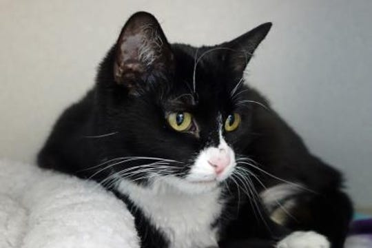 Twilight is a stray found in Lincoln County. She is about 1 1/2-year-old, litter box trained and very sweet.
