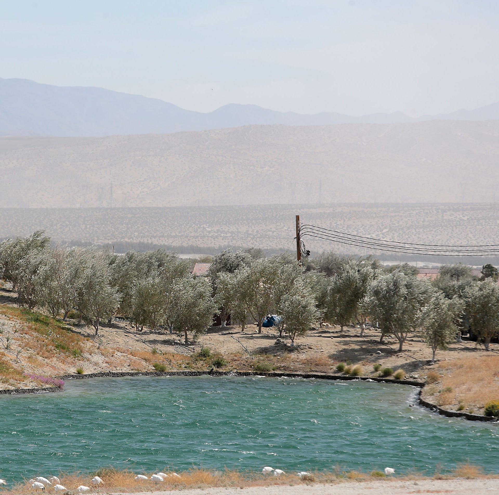 Palm Springs project's olive grove feature raises concern for allergy sufferer