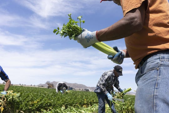 Migrant farmworkers pick a celery crop in Yuma on April 2, 2019.