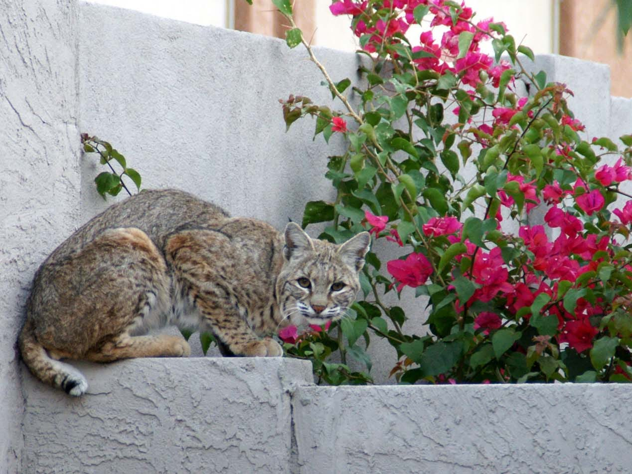 Bobcat on the wall in Gold Canyon.