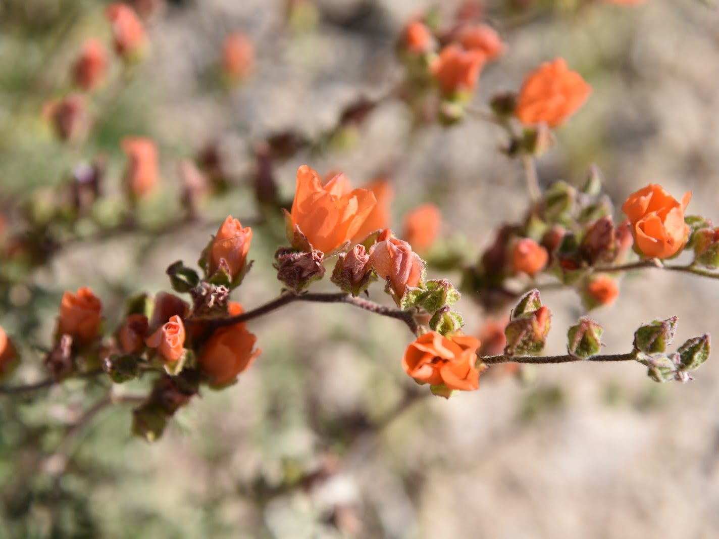 Globemallow bloom along the trails.