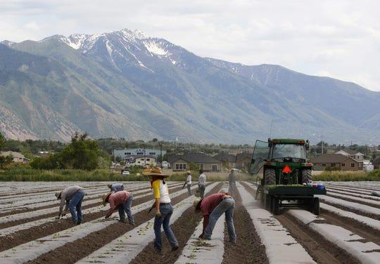 Trabajadores plantan sandías en un campo de Springfield, Utah.
