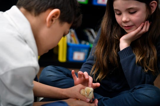 """Janiel Amaro, left, holds his group's chick while classmate Sadie Nahass pets it, Wednesday, April 3, 2019. Second graders at York Academy are completing their """"How the World Works"""" unit of inquiry. During this unit, the students have been learning about life cycles - specifically through incubating and hatching chicks.John A. Pavoncello photo"""