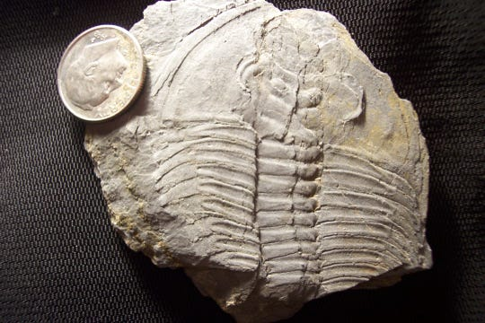 A trilobite found along Locust Lane,  Similar specimens have been found at the North George Street location.