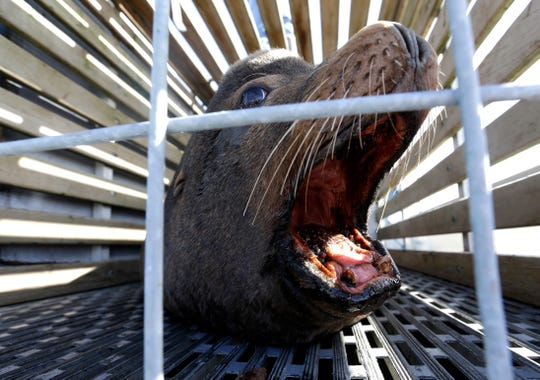 In this March 14, 2018, photo, a California sea lion waits in a cage to be released into the open Pacific Ocean in Newport, Ore. This was part of an effort by the Oregon Department of Fish and Wildlife to trap sea lions in the Willamette River and release them at the coast.