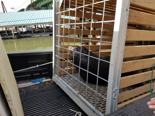 A sea lion sits in a trap as it is transferred into the back of a truck near Willamette Falls by members of the Oregon Department of Fish and Wildlife. They have received a permit to kill a small number of sea lions to protect salmon and steelhead in the Columbia River and its tributaries.