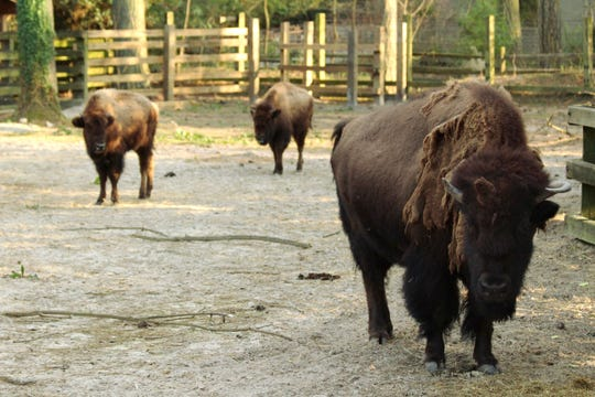 Agnes is shown with her two new companions, the two young female bison recently acquired by the Salisbury Zoo.