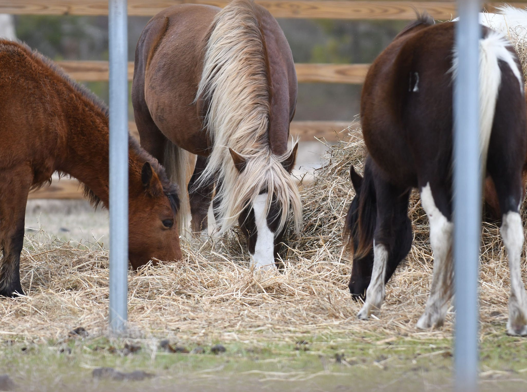 Chincoteague pony stallion Riptide and his band are now penned in the south corral on Assateague Island after visitors to the Chincoteague National Wildlife Refuge disregarded warnings not to approach the wild ponies.