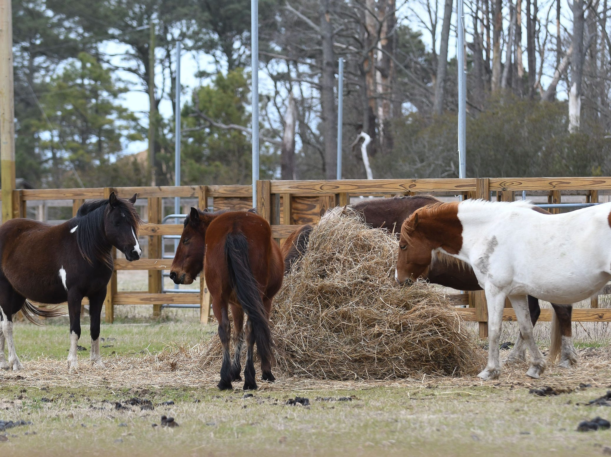 Chincoteague pony stallion Riptide and his band were penned in the south corral on Assateague Island after visitors to the Chincoteague National Wildlife Refuge disregarded warnings not to approach the wild ponies.