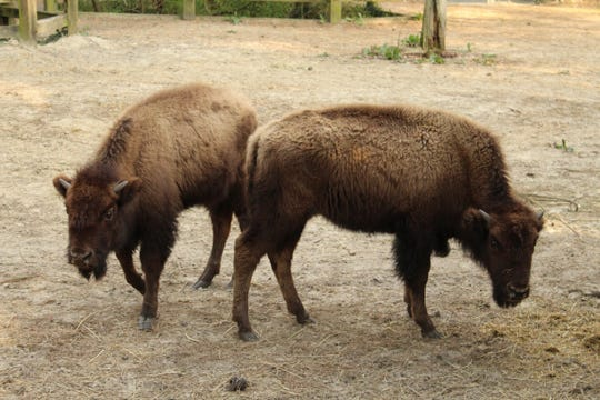 The Salisbury Zoo has just acquired these two young female bison.