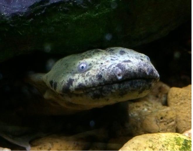 An Eastern hellbender salamander.