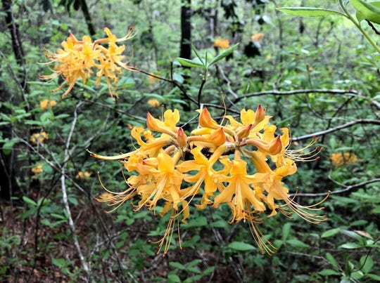 This Florida flame azalea had solid, sunny yellow blooms.