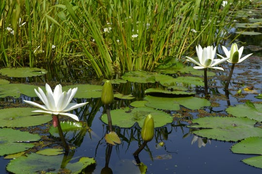 Water lilies at the Naples Botanical Garden.