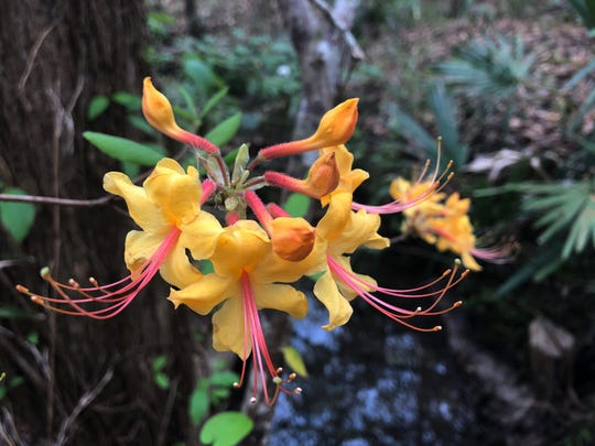My favorite Florida flame azalea plant had bright pink stamens adorning its pale-yellow blooms.