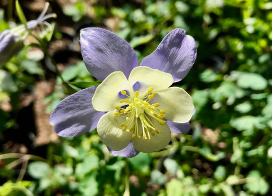 Rocky Mountain Blue Columbine: Native wildflower that grows in a wide range of moist soils in light to moderate shade.