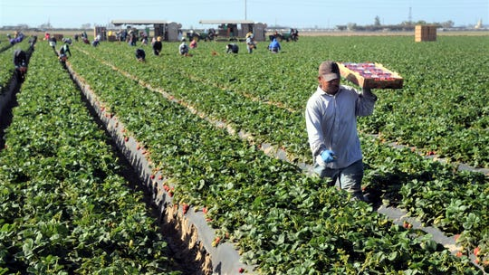 In this file photo, a field worker harvests strawberries in at a property near Oxnard.