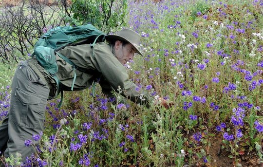 Mark Mendelsohn, a biologist for the National Park Service, points out Parry's phacelia blooming on the Overlook Trail in Paramount Ranch in Agoura Hills on Wednesday.