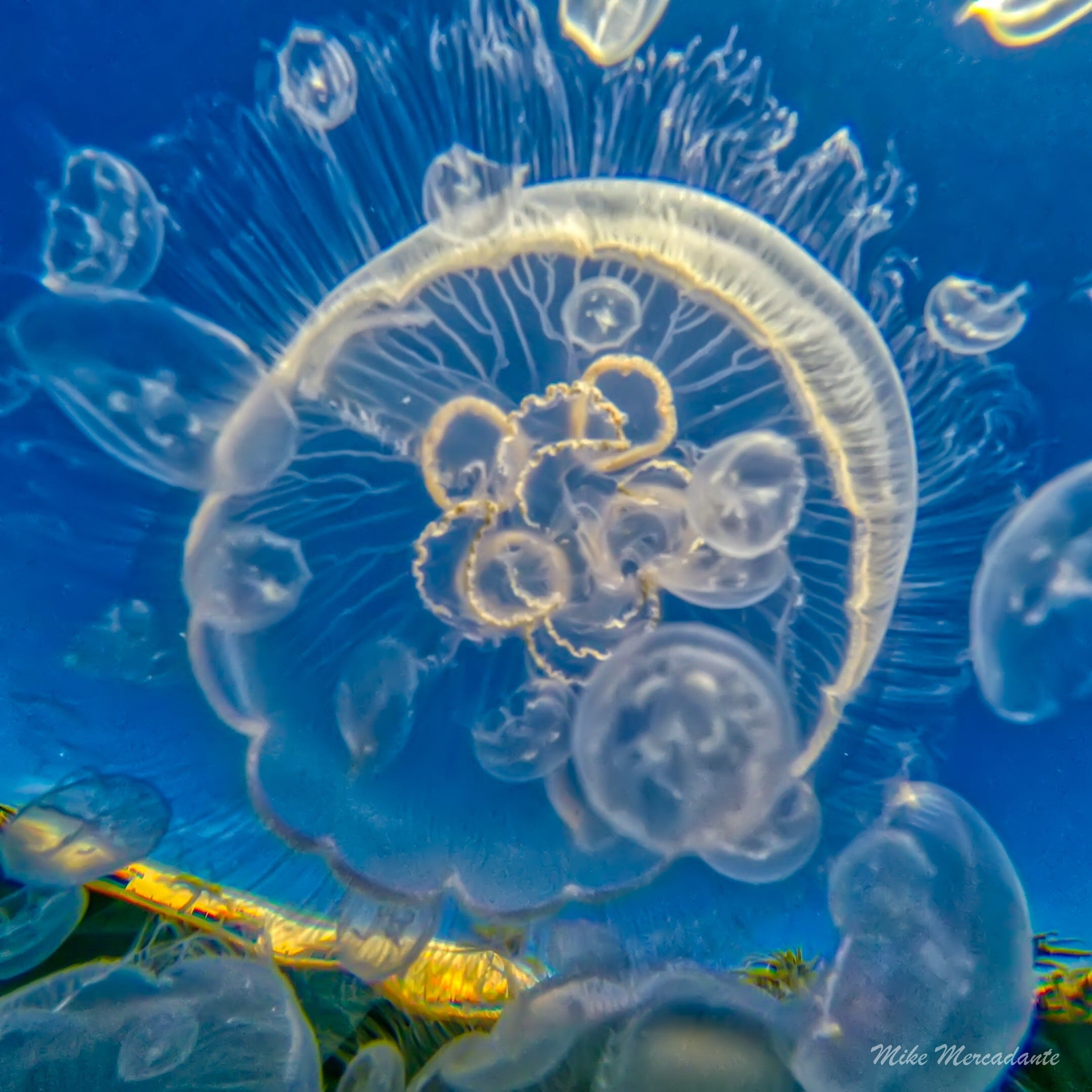 Remember those jellyfish in Oxnard harbor? CSUCI research tells us more about them