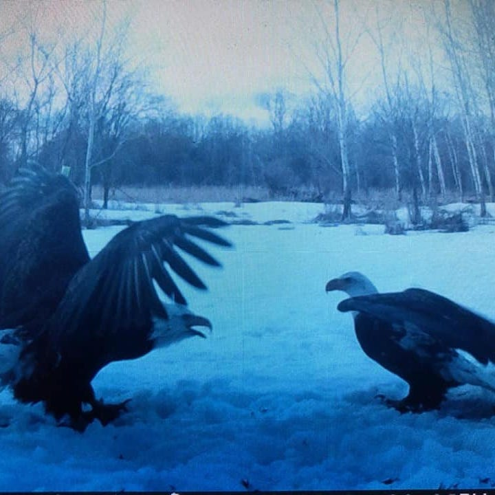 Bald eagles from central Wisconsin become Facebook stars after selfies caught on camera