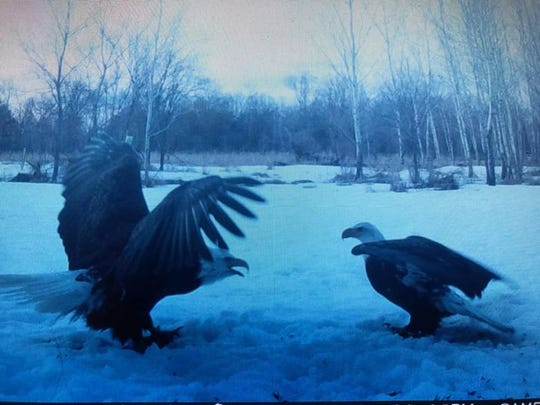 Two eagles caught on a trail camera were among nine photos shared to Grim Outdoors on Facebook March 24. The photos were taken by Shawn from Adams, Wisconsin.