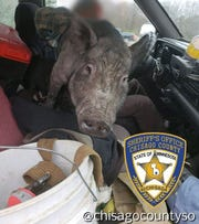 A Chisago County Sheriff's Deputy came upon this 250 lb. pig (with a smaller pig hidden underneath) sitting on the lap of the driver of this pickup truck back in October 2018.