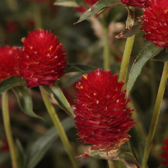 Forest™ Red Globe Amaranthus Gomphrena is an example of the classic Gomphrena. It's been grown for centuries.