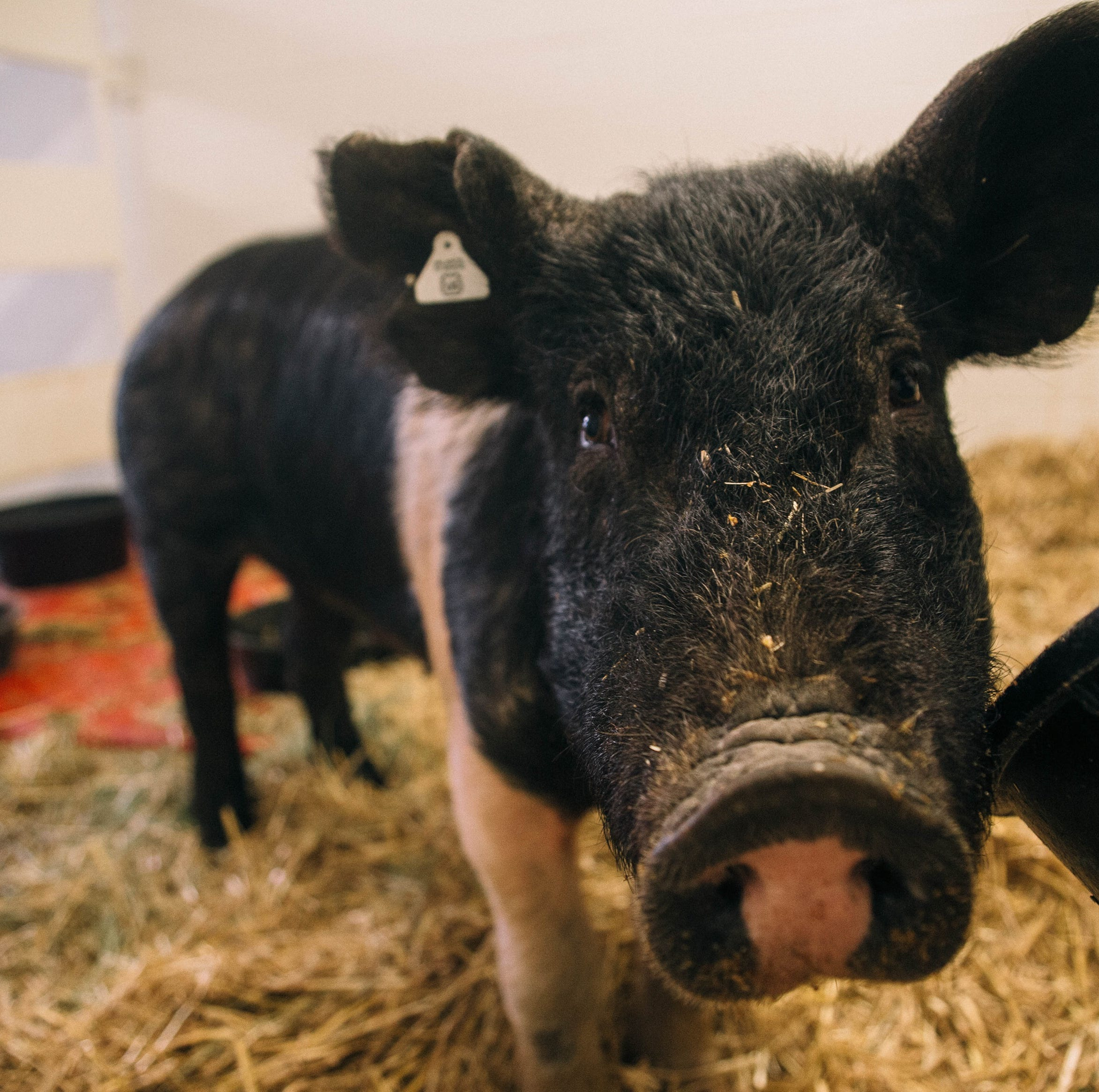 Love the pig, rescued from Nebraska flooding, gets TLC at CSU