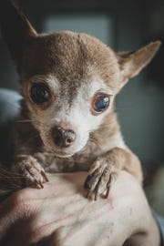 Cookie, a chihuahua who is estimated to be 21 years old