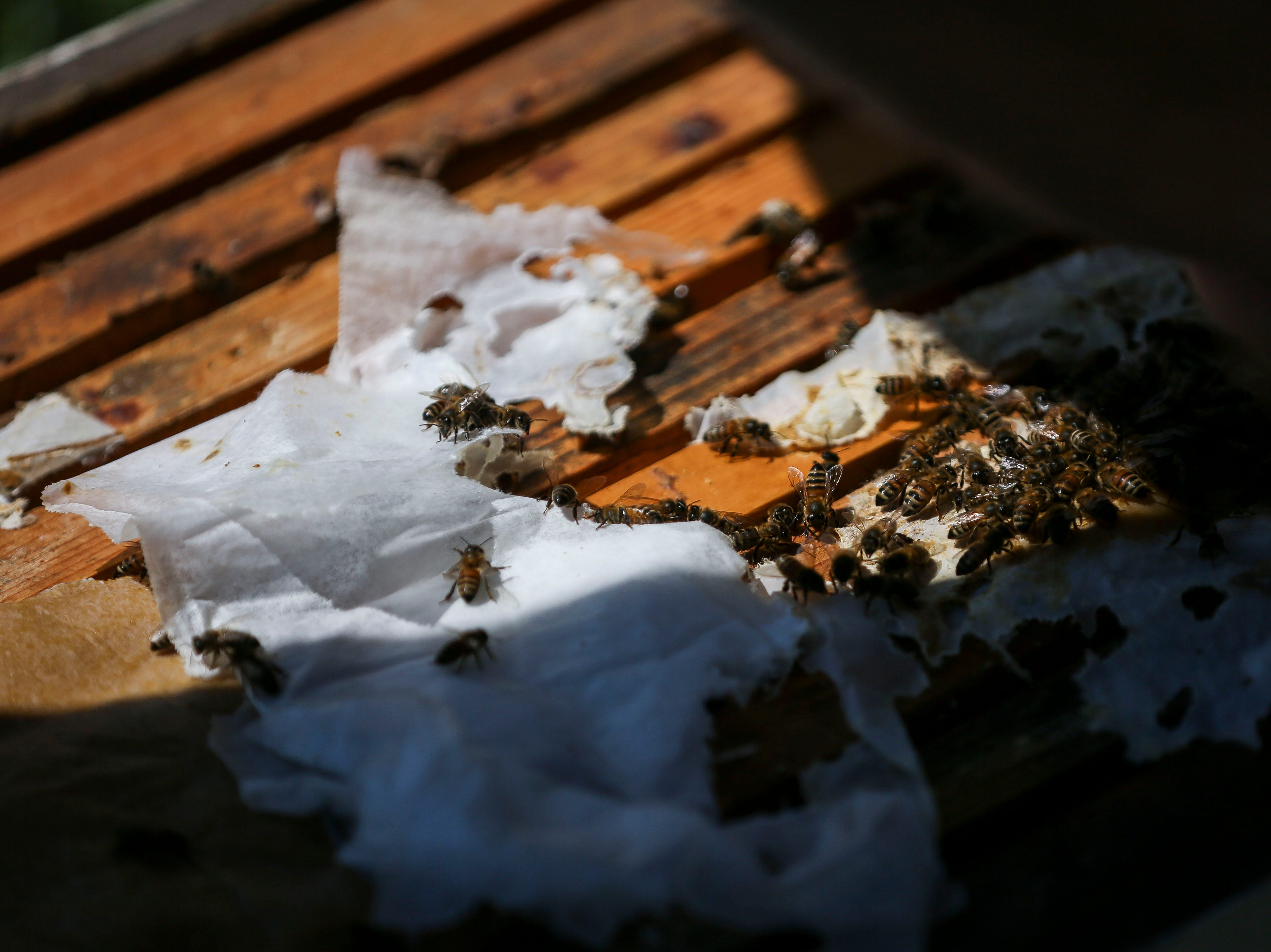 Bees feed on a winter pattie, packs of honey used to sustain bees during the winter months, in the Hosey Honey bee yard in Midway, Ky. on Wednesday, April 3, 2019. Hosey Honey is a small family run honey company, their Hosey's Queen's Triple Crown honey is used in the sweetener in the $1,000 Woodford Reserve Kentucky Derby mint julep.