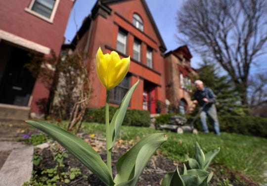 A lone tulip is in bloom as Jim Reynolds mows his neighbor's lawn for the first time this season in the Limerick neighborhood.  Spring has begun in 2019. Apr. 4, 2019