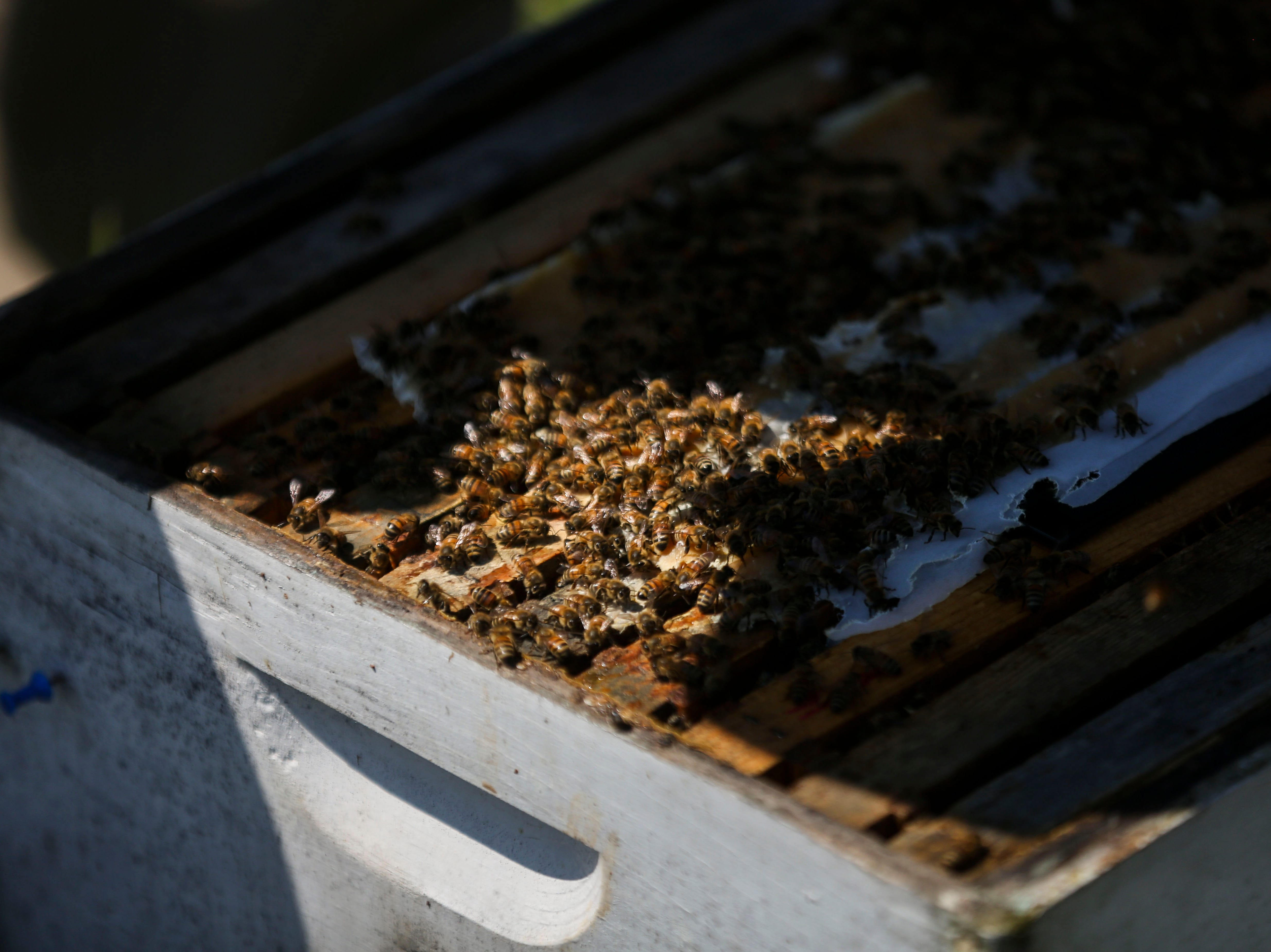 Bees feed on a winter pattie, packs of honey used to sustain bees during the winter months, in the Hosey Honey bee yard in Midway, Ky. on Wednesday, April 3, 2019. HHosey Honey is a small family run honey company, their Hosey's Queen's Triple Crown honey is used in the sweetener in the $1,000 Woodford Reserve Kentucky Derby mint julep.