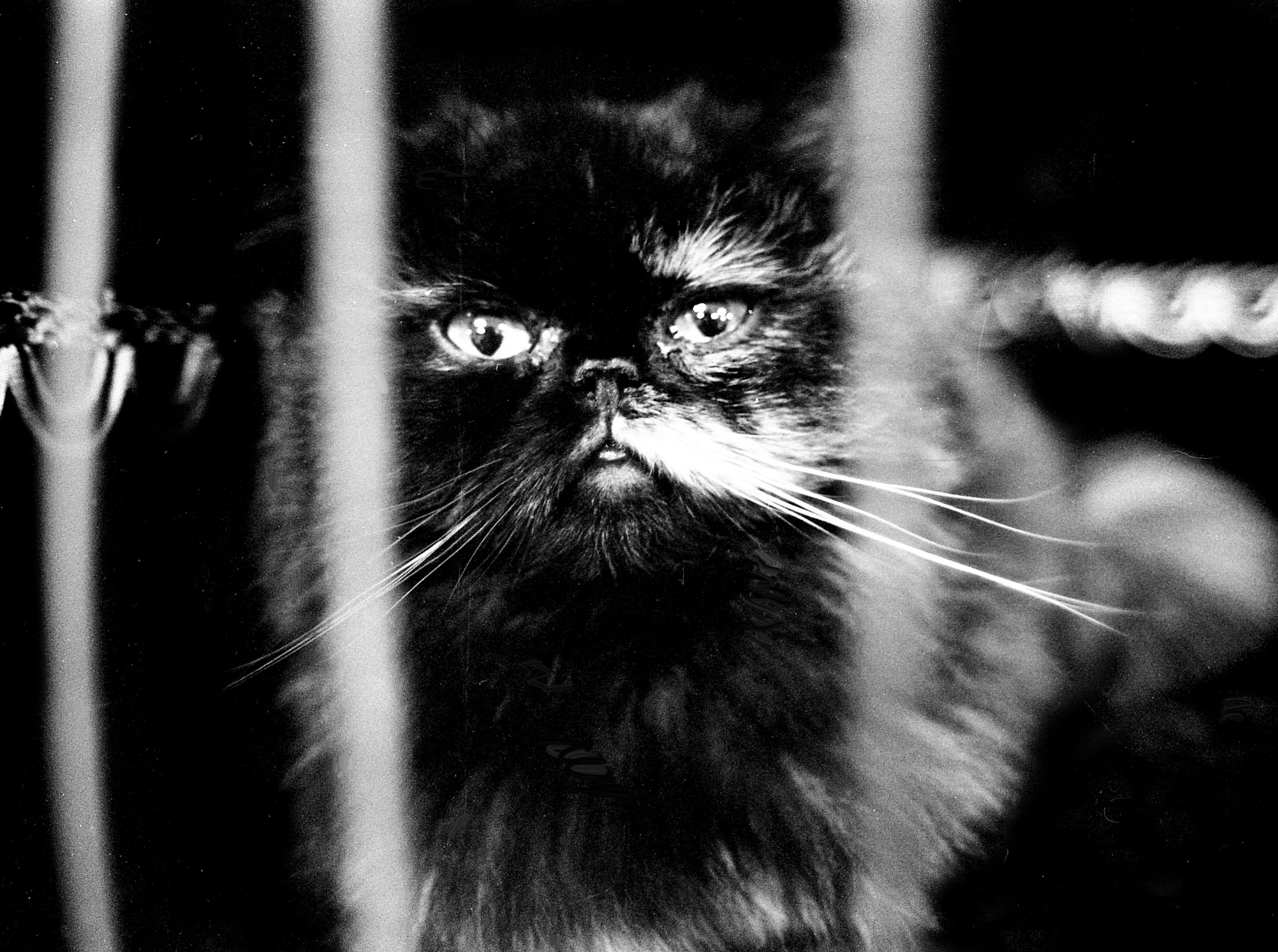 This fierce Persian waits the competition during Cat Show at the Tennessee State Fairgrounds on April 7, 1979. The event is sponsored by the American Cat Club and Nashville's Crown Cat Club.