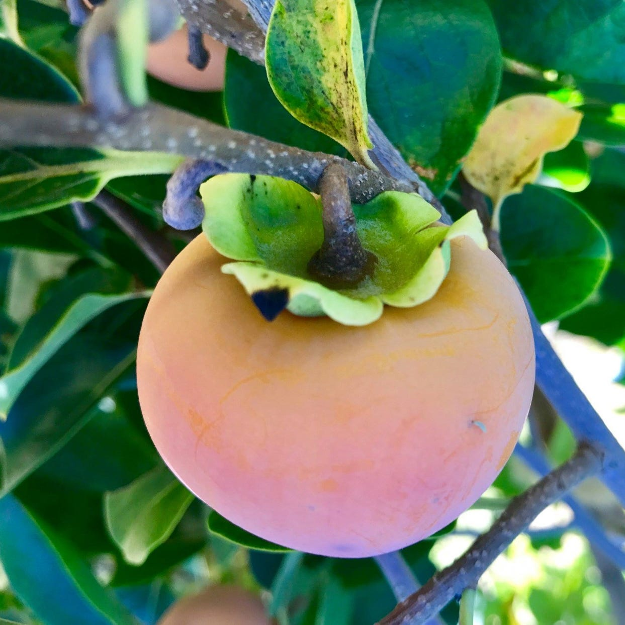 What fruit trees are recommended for my area?