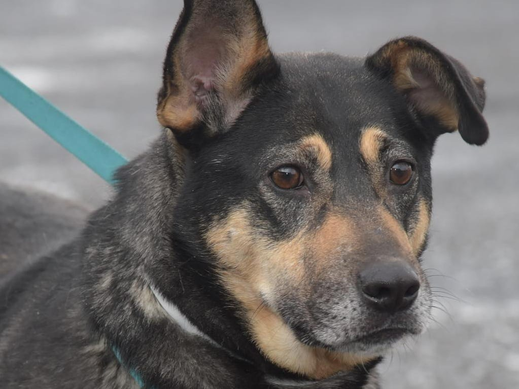 Kyla - Female (spayed) shepherd mix, about 6 years old. Intake date: 1/30/2018