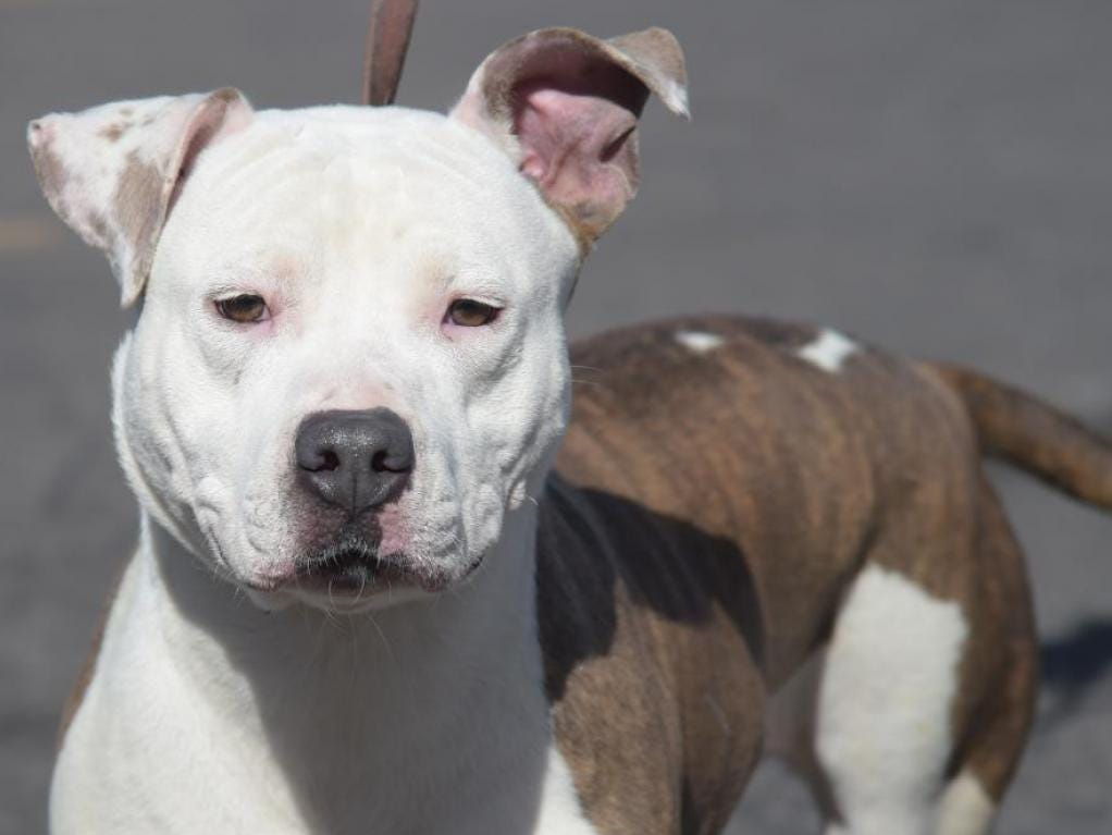 Blanca - Female (spayed) American pit mix, about 1 year, 8 months old. Intake date: 8/2/2018