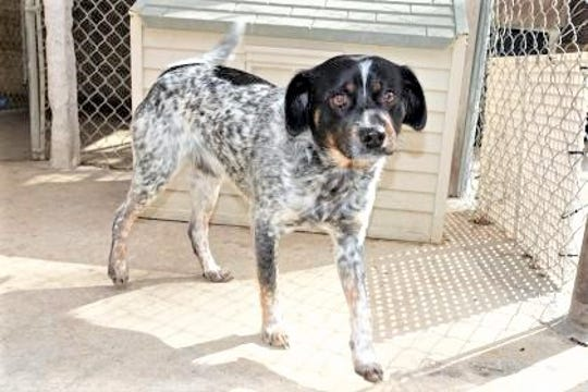 Dillion is a very smart 1-year-old Heeler mix.