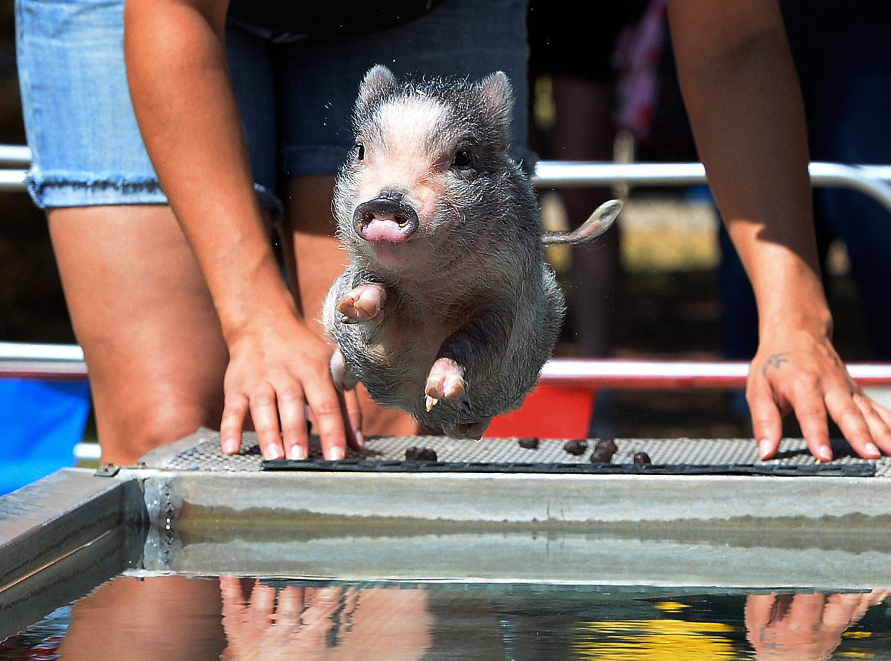 """Swifty the swimming pig jumps into the """"pool"""" for a quick sprint to the other end during the Swifty Swine Racing Pigs show, Wednesday, April 3, 2019, at the annual Yuma County Fair, in Yuma, Ariz."""
