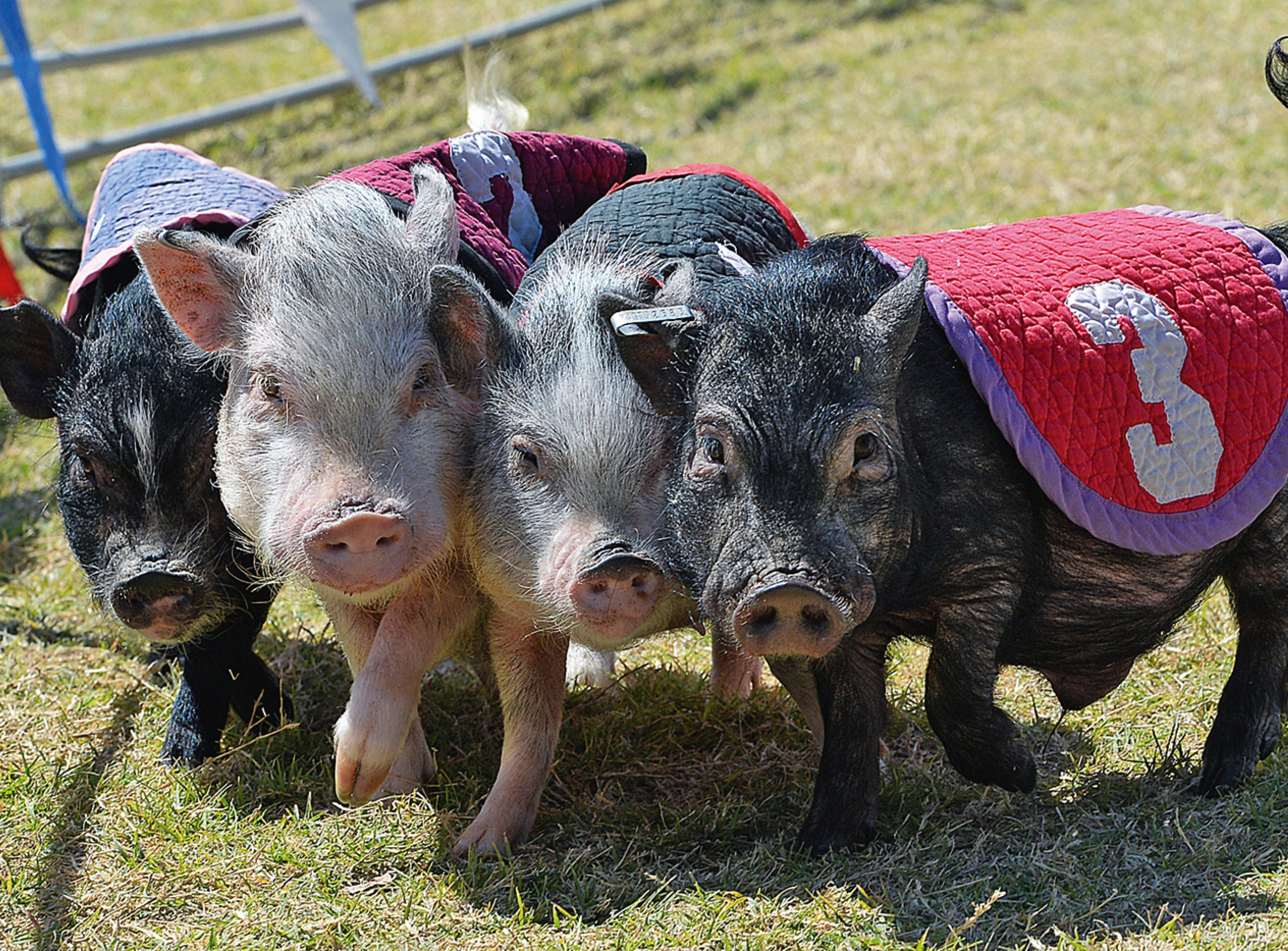 """Miniature potbellied pigs compete during a Swifty Swine Racing Pigs heat race, Wednesday, April 3, 2019, at the annual Yuma County Fair, in Yuma, Ariz. This was the """"Women of Hollywood"""" heat race, which featured, from left, Kim Kardashiham, Brittany Spareribs, Jaylopigs and Boriana Grande."""