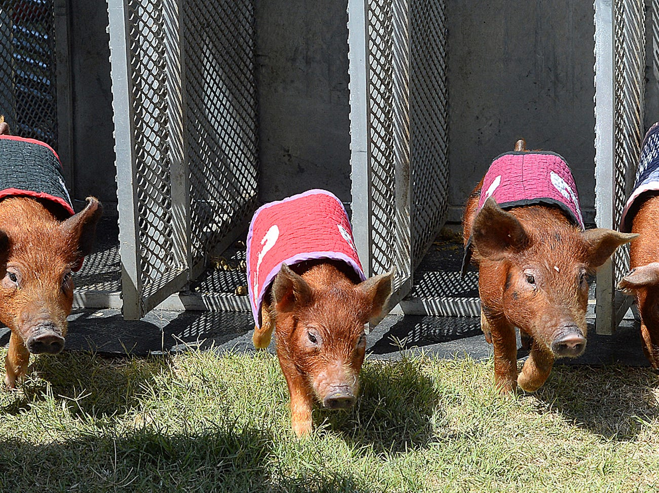 """Four Red Wattle pigs leave the chute during a Swifty Swine Racing Pigs heat race, Wednesday, April 3, 2019, at the annual Yuma County Fair, in Yuma, Ariz. This was the """"Men of Hollywood"""" heat race, which featured, from left, Brad Pigg, Justin Biebour, Hammuel Jackson and Kevin Bacon."""