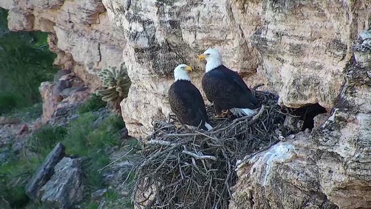 Bald Eagle Pair in their nest on a cliff at Lake Pleasant
