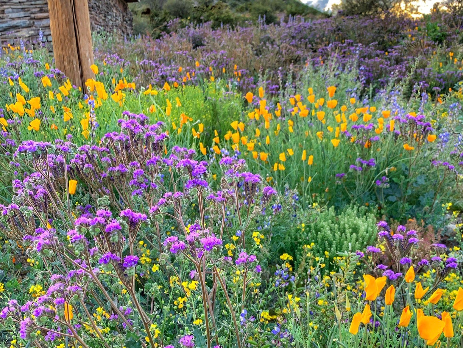 Wildflowers Super Bloom at South Mountain Park