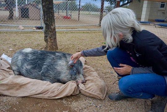 La directora de rescate de Better Piggies, Danielle Betterman, muestra una oreja desgarrada de Coppachino, un cerdo que se encontraba vagando por las calles del centro de Phoenix.