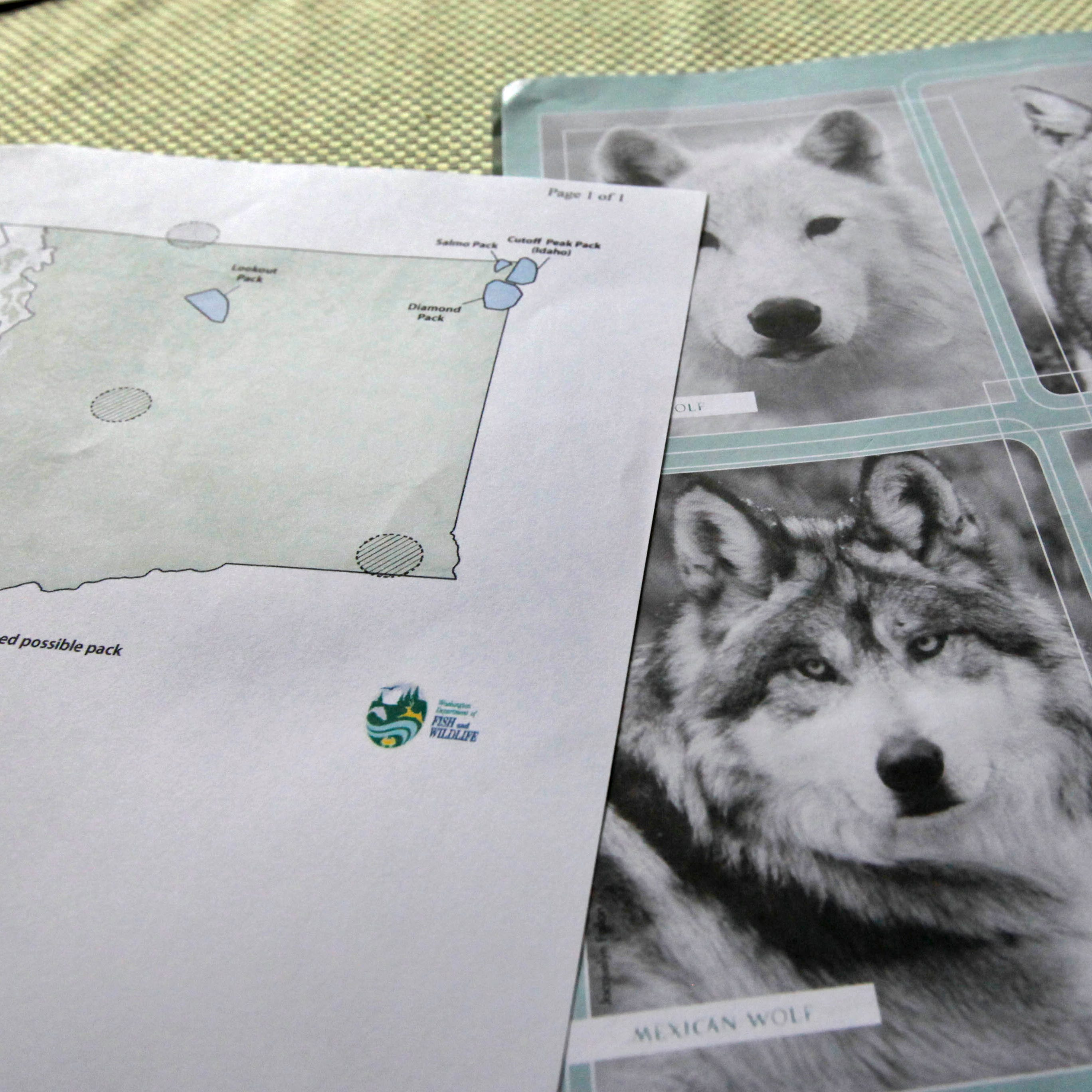 Count of Washington gray wolves finds more packs, breeding pairs
