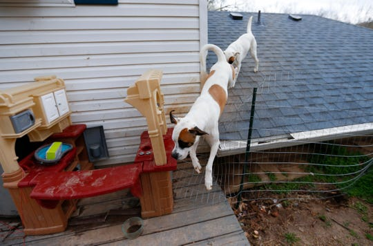 Bowie (left) and Zoey, boxer and great pyrenees mixes, defeat a wire fence designed to keep them off the roof by jumping it at a house in Ozark on Thursday, April 4, 2019.