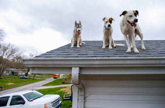 Yuki, a husky, and Zoey (center) and Bowie, boxer and great pyrenees mixes, hang out on the roof of a house in Ozark on Thursday, April 4, 2019.