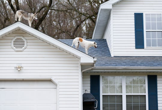 Yuki, a husky, and Bowie, a boxer and great pyrenees mix, hang out on the roof of a house in Ozark on Thursday, April 4, 2019.