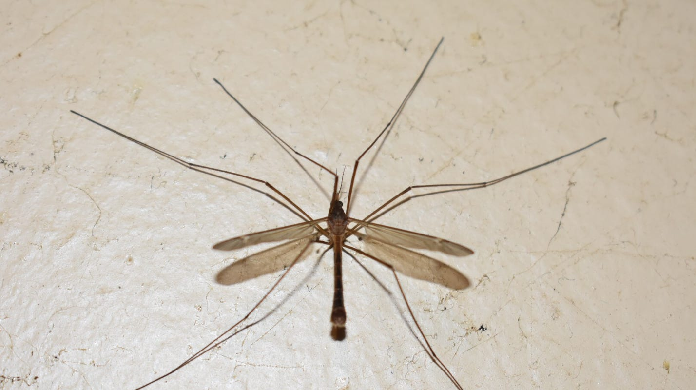Crane Flies Mosquito Hawks Are They Harmful How To Get Rid Of Them